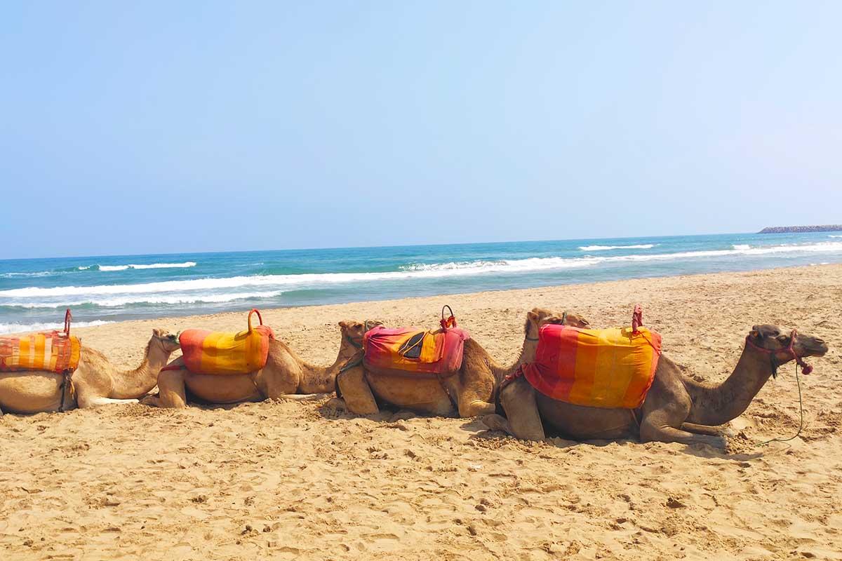 Dromedarios en playa de Saidia