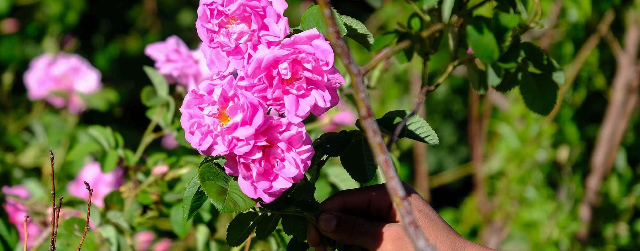 Valle de las Rosas