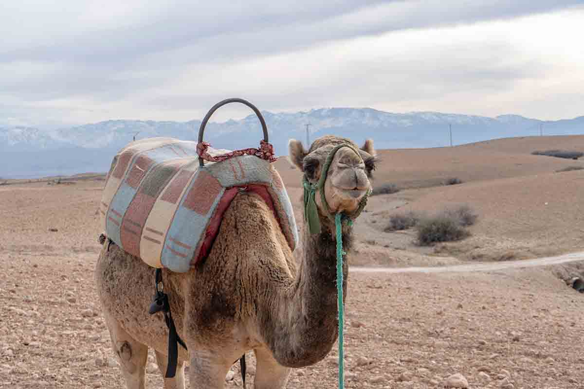 Dromedario desierto de Agafay